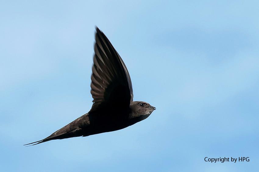Andorinhão preto (Apus apus)  Swift