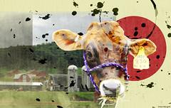285_365 (trey crim) Tags: art texture collage photography cow farm digitalart jade 365 digitalmanipulation digitalcollage 365project