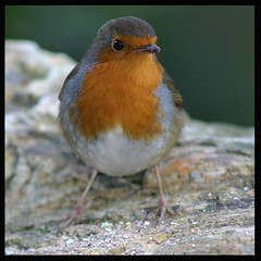 Robin (rhianwhit) Tags: red bird robin animal animals breast explore animalplanet pinnacle wfc redbreast 3ofakind i500 interestingness144 impressedbeauty onlyyourbestshots welshflickrcymru cloughwilliamellis thepinnaclehof tphofweek7