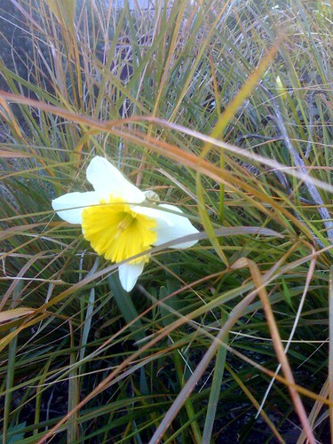 Zeke's narcissus, this afternoon
