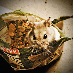 Food for Thought (Nick Today) Tags: food cute hamster russian fredrik hampster