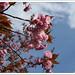樱花 / Cherry Blossom / Kirschblüte