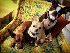 1-2-3 go ! (EllenJo) Tags: friends pets chihuahua home dogs bostonterrier harrison ivan ears pals livingroom smalldogs floyd miniaturepinscher picnik minpin digitalimage minipin pooches yellowchair editedwithpicnik