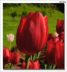 red tulip ( alemdag ) Tags: red portrait white macro green turkey landscape soft tulips action trkiye panasonic tulip beyaz mavi soe trabzon iek iekler yeil sar fz50 sanat lale fotoraf redtulip krmz renkler alemdag turuncu tutku flickrsbest laleler worldbest saten diamondclassphotographer yumuak krmzlale zanos lumixaward mehmetalemda goldenheartaward