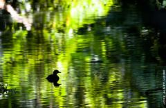 Tígua reflejo esmeralda (Jose Alney Uribe) Tags: reflections dominicanrepublic silohuettes avesdominicanas dominicanbirds jardínbotániconacional tígua zamaragullónchico tachybatusdominicus