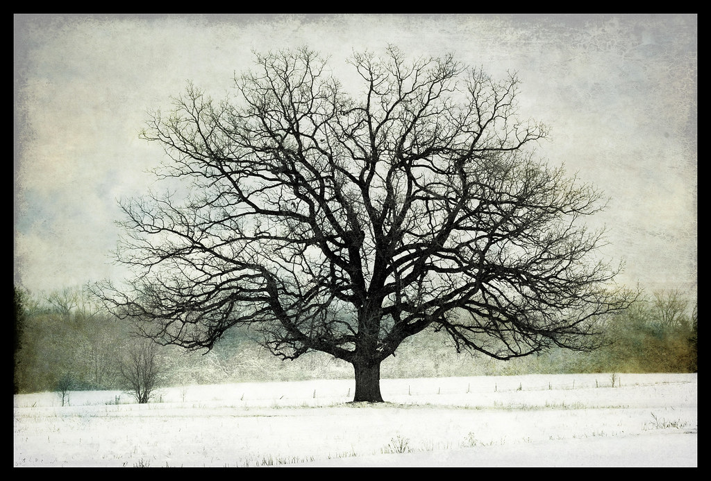 Winter Oak 2008