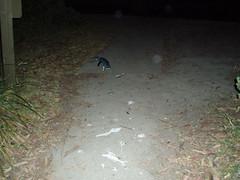 PC140105 (Blake the Black) Tags: penguin tasmania tassie bicheno