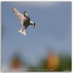 Preying (Edgar Thissen) Tags: holland bird nature birds bravo quality wildlife tern commontern sternahirundo edgarthissen gouderak visdief 36509 specanimal animalkingdomelite impressedbeauty avianexcellence