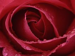 Ernest H. Morse (Britta's photo world) Tags: macro britta excellence 60mmf28dmicro flowerotica niermeyer aplusphoto infinestyle flowersandcolors brillianteyejewel bestroseshot goldstaraward qualitypixels awesomeblossoms colorfullaward tbfsmacrocontestaug08