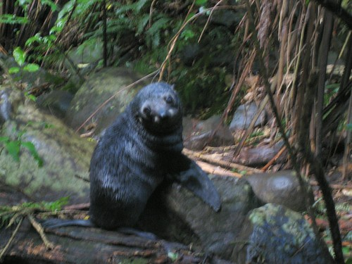 Baby Seals, near Kaikaura, New Zealand