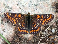 Scarce Fritillary (Euphydryas maturna) (Ardeola) Tags: lepidoptera fjäril butterflu scarcefritillary dagfjäril euphydryasmaturna asknätfjäril