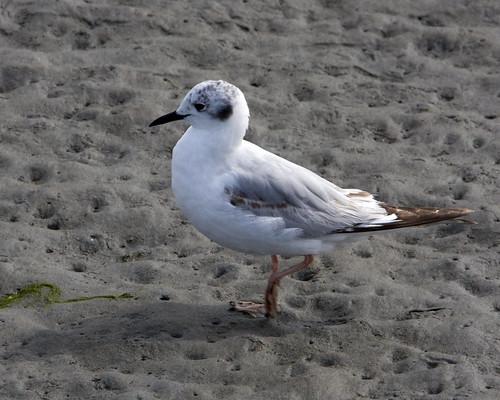 Bonaparte's Gull (Juvenile)
