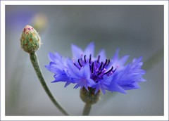 I'm by your side baby... (Jur-) Tags: blue flower macro bud cornflower basketflower