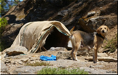 Dogs of Ikaria (MvHulst) Tags: dog holiday dogs vakantie sad guard ikaria aegean greece griekenland pezi  rahes mvh shepperds nikaria   joy23  christosraches