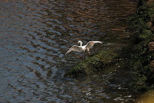 Snowy egret, Egretta thula-Landing 3
