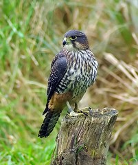 Looking back (Ian Mc1) Tags: birdwatcher aficionados tamron70300 willowbank pentaxk10d impressedbeauty avianexcellence aficinonados vosplusbellesphotos