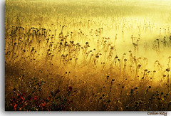 Sunflowers: Lost Souls (gold) (Collin Key) Tags: morning autumn light nature fog 1025fav gold sunflowers topf150 magical rs visualart ogm gpc sonnenblumen fieldsofgold digitalcameraclub deadsunflowers likethis idream laclassenonacqua fieldofsunflowers naturesgallery visiongroup goldcollection infinestyle theunforgettablepictures tub2 natureselegantshots multimegashot alemdagqualityonlyclub damniwishidtakenthat obq 100commentgroup vision100 photoartbloggroup naturescreations verwelktesonnenblumen sublimemasterpiece collinkey hairygitselite extremelyresistanttopeoplewantingtogetridofit thebestofmimamorsgroups flickrsfinest100faves redmatrix imagicland imagofabulae