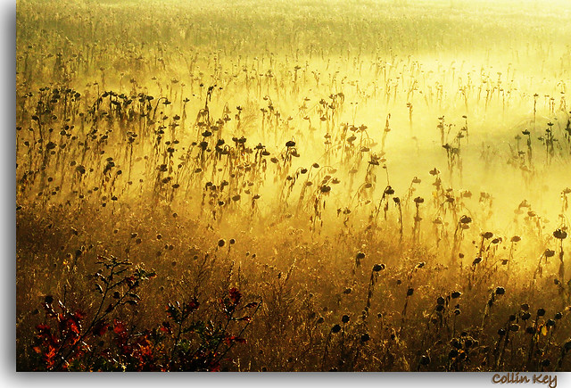 Sunflowers: Lost Souls (gold)