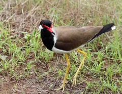 Red wattled Lapwing (Vanellus indicus) (Saran Vaid) Tags: red india tree bird nature beautiful beauty fauna bokeh outdoor wildlife indian birding beak feather reserve lapwing habitat sanctuary isolated animalkingdom rajasthan ranthambhore redwattledlapwing vanellusindicus wattled ranthambhor canoneos400d canonefs55250f456is slbwalking