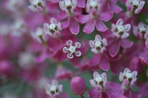 Ascelpias incarnata, Swamp Milkweed