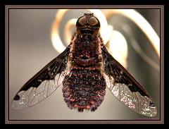 ~~~~Spotted~Hoverfly~~~ (~~~Gasssman~~~) Tags: explore wmp nationalgeographic lifeasiseeit flickrsbest mywinners abigfave eliteimages macromarvels ahqmacros flickrbestpics fabulousflicks flickrsmasterpieces