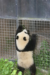 Zhennie scales the howdy gate (kjdrill) Tags: china california bear usa baby animal giant zoo cub panda sandiego bears pandas endangeredspecies 7872 zhenzhen