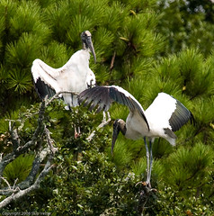 May I Have This Dance (Skipbro) Tags: searchthebest huntingtonbeach stork woodstork