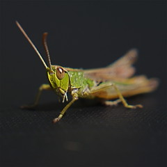 Lensbaby Wetsuit Grasshopper (or is it a cricket?) Macro (s0ulsurfing) Tags: black blur detail macro green eye closeup lensbaby insect square focus raw dof searchthebest bokeh pov perspective insects cricket sharp pointofview getty grasshopper 2008 curiosity lensbabies antenna squared wetsuit x10 neoprene lensbaby20 caelifera s0ulsurfing theperfectphotographer