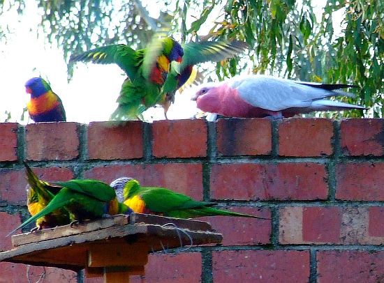 fighting lorikeets and galah