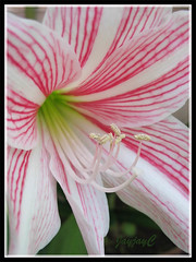 Hippeastrum reticulatum var. striatifolium 'Mrs. Garfield', in our garden