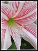 Hippeastrum reticulatum var. striatifolium 'Mrs. Garfield' (Amaryllis, Hippies, Barbados Lily)