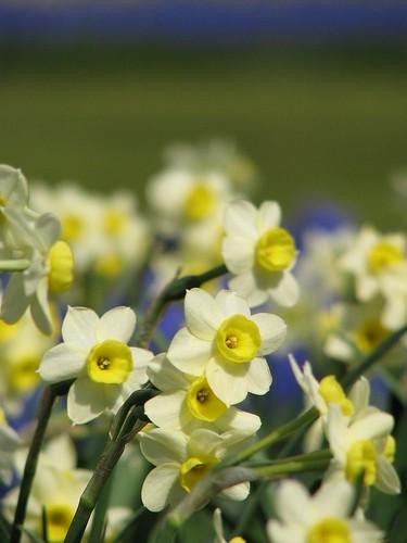 Narcis Minnow