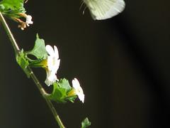 The Illusive Butterfly (Brenda Boisvert) Tags: white flower soe buttefly bej abigfave platinumphoto anawesomeshot citrit theunforgettablepictures theperfectphotographer goldstaraward photosexplore awesomeblossoms kunstplatzlinternational bacoppa getwhatwecan
