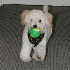 Fetch, Dinky, fetch! (Graustark) Tags: dog pet white puppy tennisball fetch dinky ratapoo ratoodle ratterrierpoodlemix