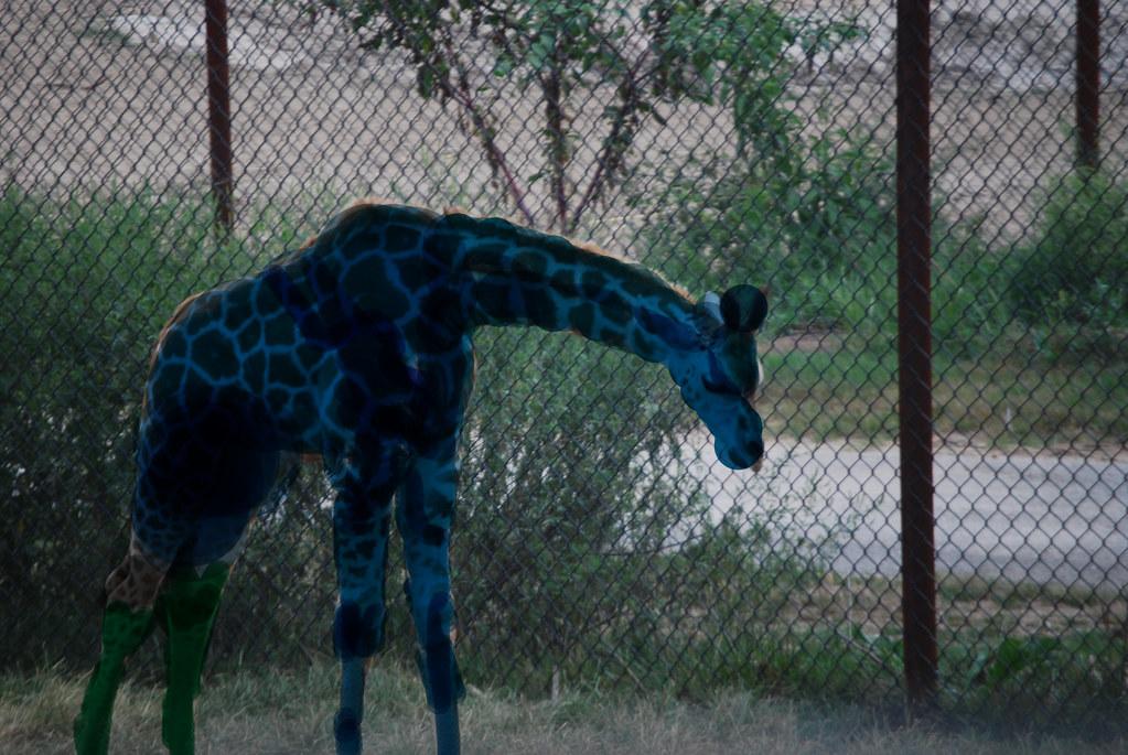 Aidan's Giraffe