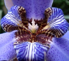Neomarica azul (Chrismferreira) Tags: flowers iris plants flores flower nature garden plantas natureza flor jardim neomarica masterphotos diamondclassphotographer flickrdiamond colourartaward auniverseofflowers flickrfloresemacros flickrflorescloseupmacros neomaricaazul thebestofmimamorsgroups