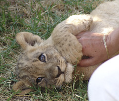 Playing with a cub