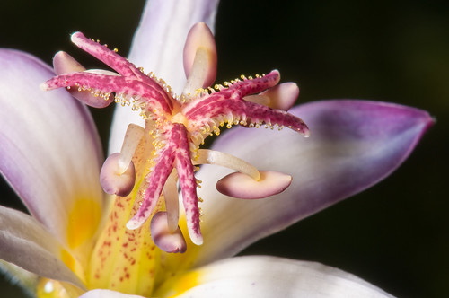 Toad Lily Close Up