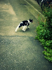 left back leg (minou*) Tags: white black japan cat japanese back chat noir tail leg   left  blanc