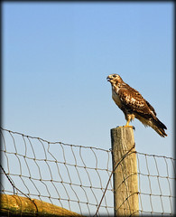 hawk (oshcan) Tags: bird nature southdakota hawk prairie
