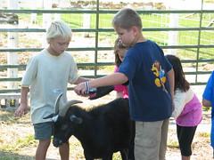 Goat grooming