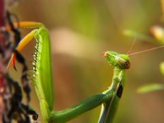 Praying Mantis (PhotoBG) Tags: macro green nature bug mantis insect head praying prayingmantis spectacularmacro