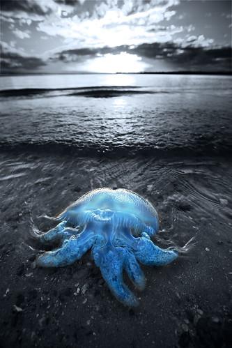 """G a r r y 拍攝的 """"Cordon Bleu"""" - Catostylus。"""