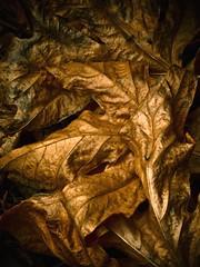 Fallen 2008.10.24 (Steven Schnoor) Tags: autumn usa color detail art fall leaves dark gold golden washington leaf maple flora dry fallen environment curled veins sylvia graysharbor montesano atmyfeet schnoor driedout g9 lakesylvia imagesmyth stevenschnoor 20081024 autumnprospecting blownunderashrub