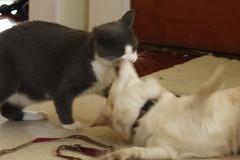 Kitten & Daisy - 33 (Andre Reno Sanborn) Tags: chihuahua kitten sweetpea daisy