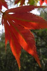 maple leaf (satoru_m) Tags: autumn maple loveit  kanazawa janan gx100 loveitalwayscomment5