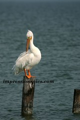 White Pelican on Post