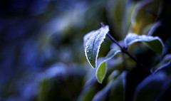 Frost (koinis) Tags: blue autumn winter cold green fall nature canon john 50mm leaf frost explore hedge chilly 18 koinberg koinis