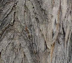 robinia (poliantea) Tags: alberi autunno luisa acacia corteccia voltan robinia luisavoltan