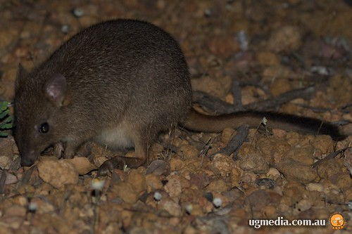 Brush-tailed bettong (Bettongia penicillata)